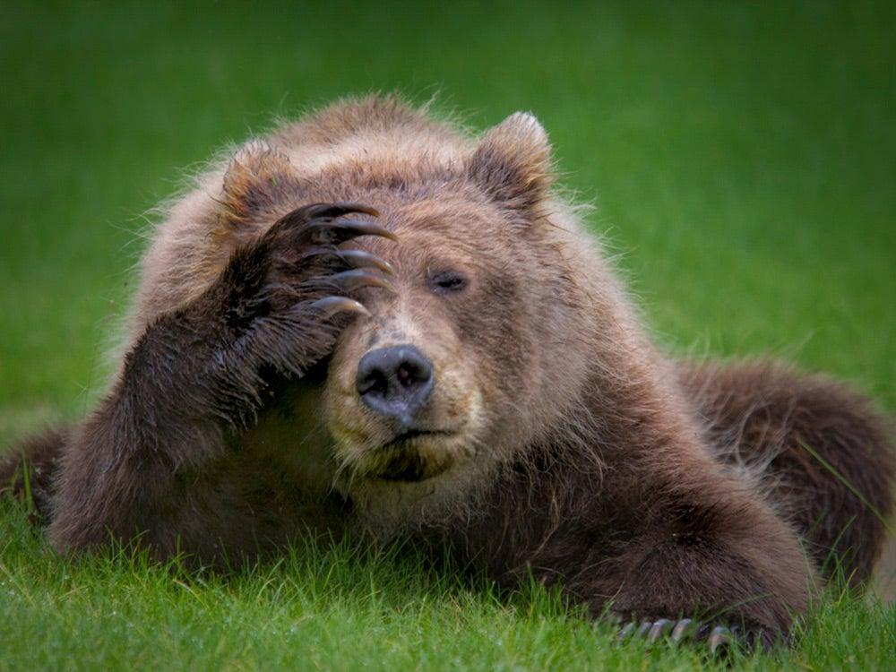 Brown bear cub with headache