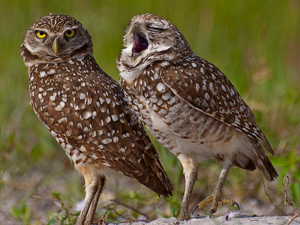 Owl Yawning