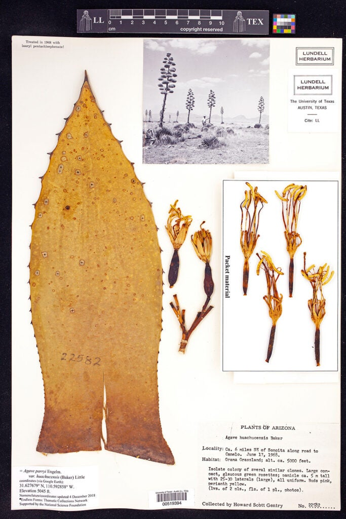 Agave parryi plant scan