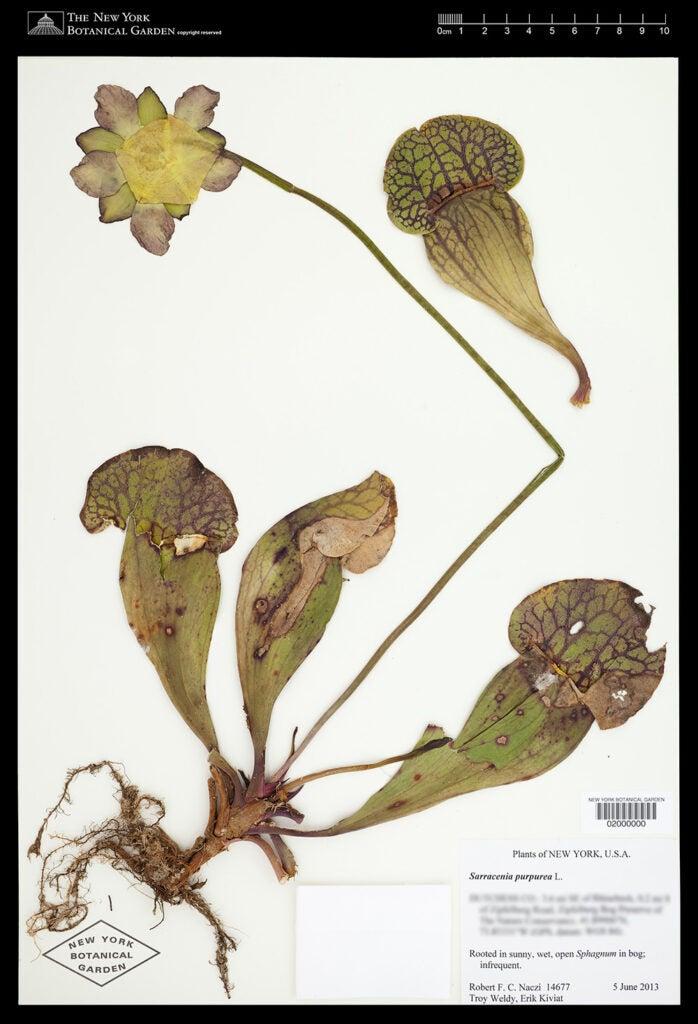 Sarracenia purpurea plant scan