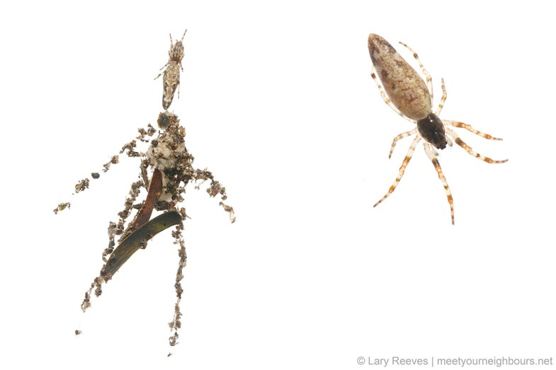 Cyclosa spider and decoy