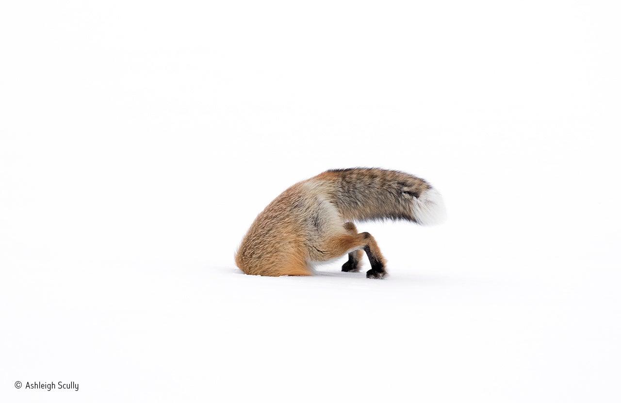 fox stuck in snow