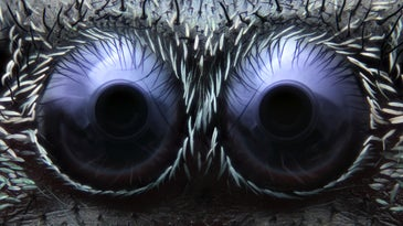jumping spider eyes under a microscope