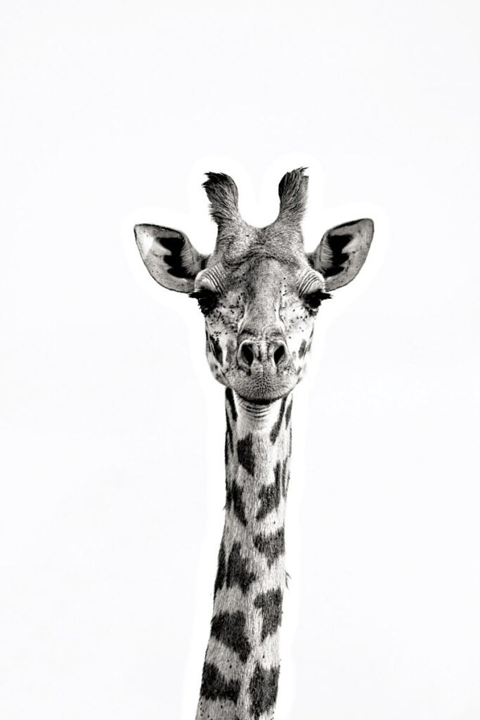 """Giraffe,"