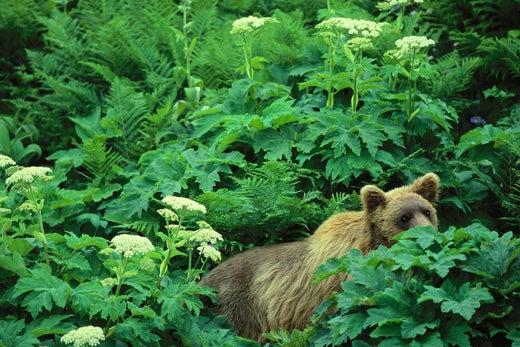 """""""Alaskan-brown-grizzly-bear-Chenik-Alaskan-Peni"""""""