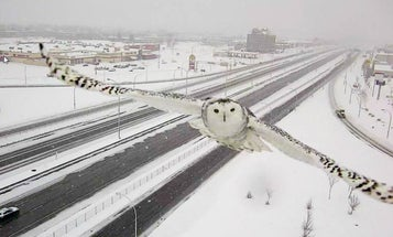 Canadian Traffic Camera Captures Beautiful Images of an Owl In Flight