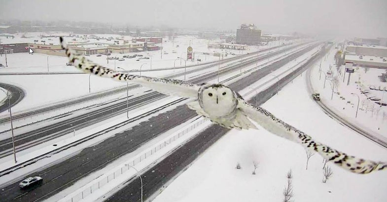 Canadian Traffic Camera Picture of a Snowy Owl