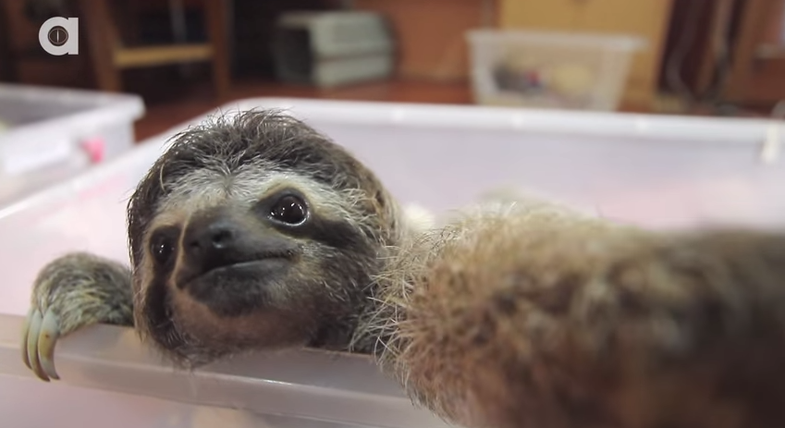 Video: Baby Sloth Snaps a Bunch of Selfies