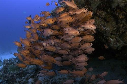 """Bigeye-soldierfish-Rasdu-Atoll-Maldives"""