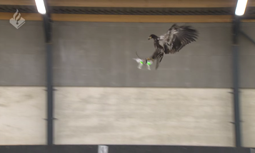 Dutch National Police Are Training Eagles To Take Down Unauthorized Drones
