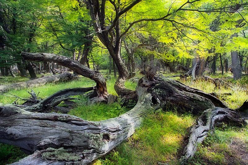 lenga_forest.jpg