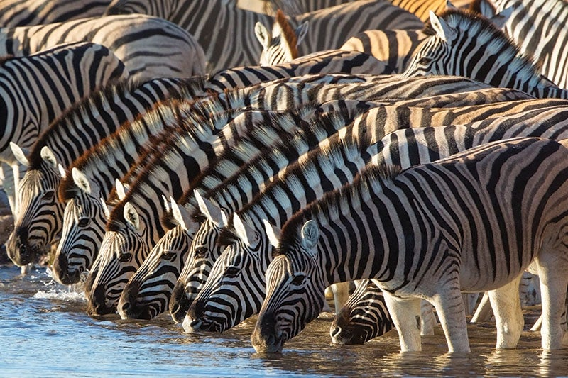 """""""Zebras,"""