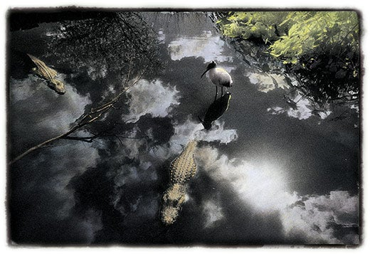 """""""Before-They-re-Gone-An-alligator-and-wood-stork-i"""""""