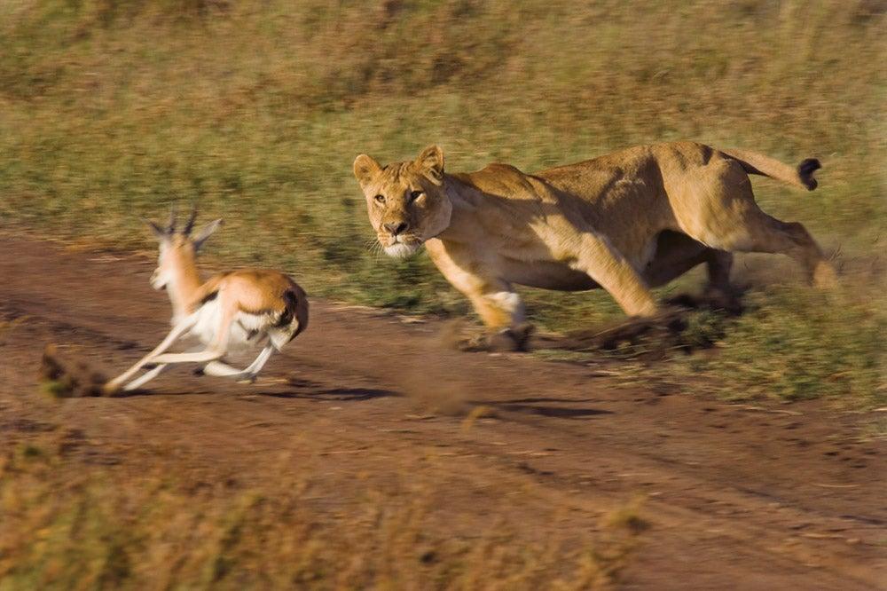 Lioness, Serengeti National Park, Tanzania