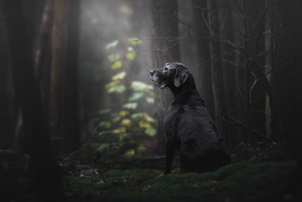 Older dog in the woods