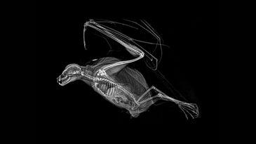 x-ray of a bat skeleton