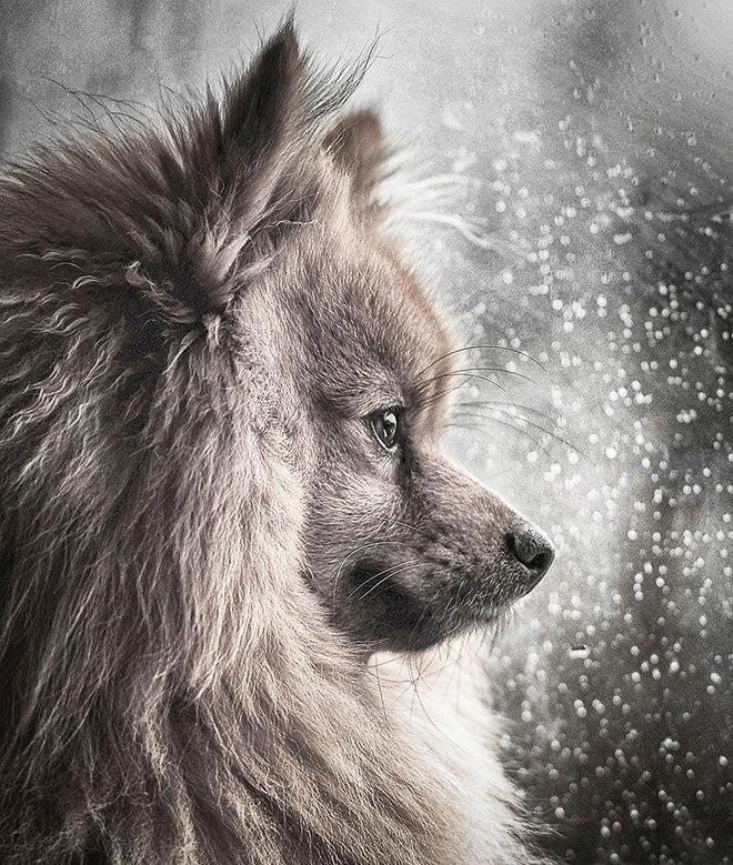 Pomeranian looking outside