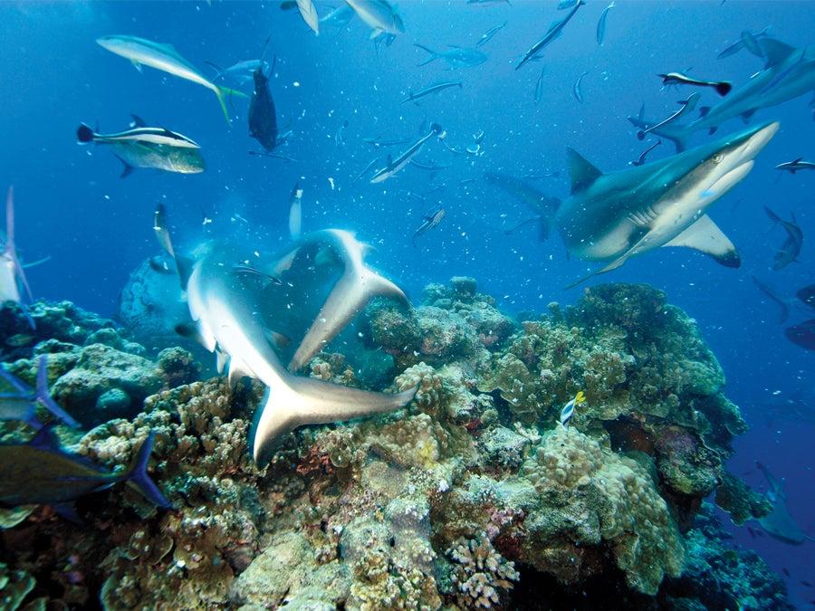 Shark-3