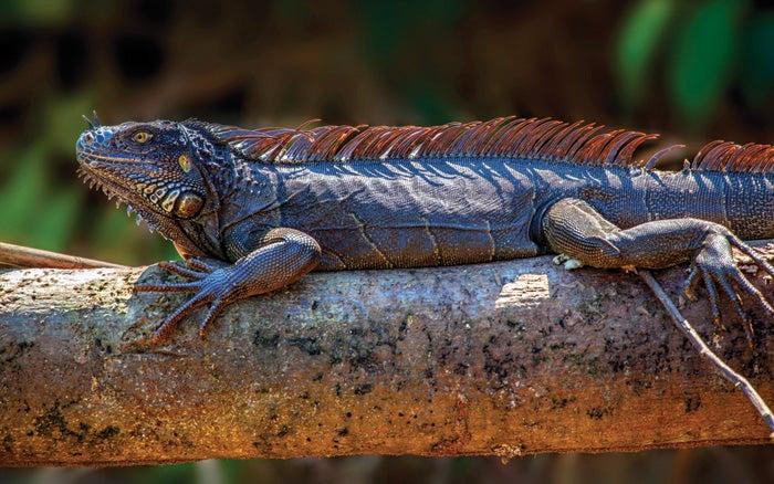 """""""Iguana,"""