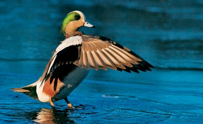 10-Tips-for-Dynamic-Waterfowl-Photos