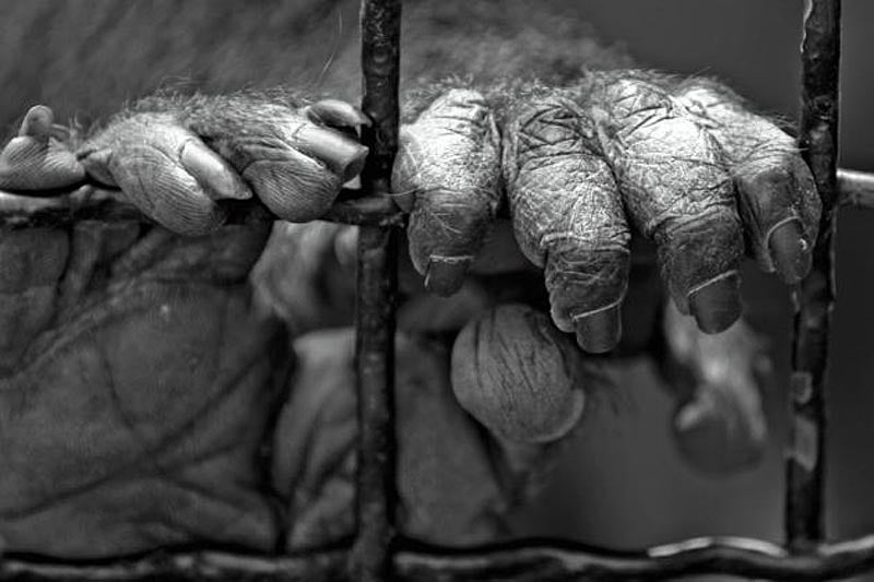 close up of ape hands