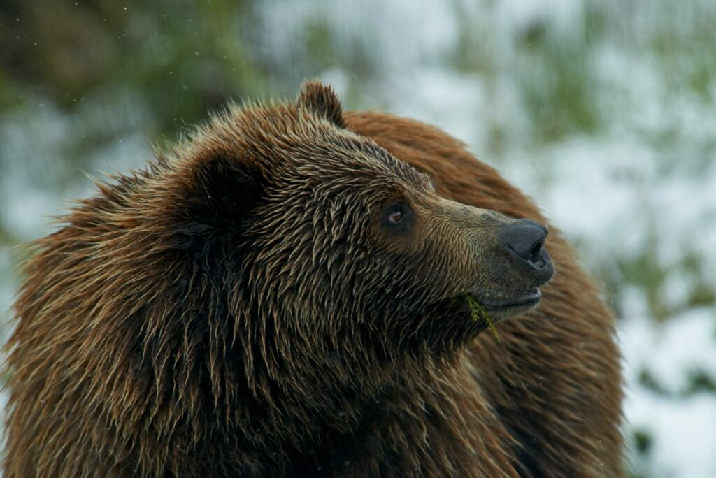"""""""Grizzly"""
