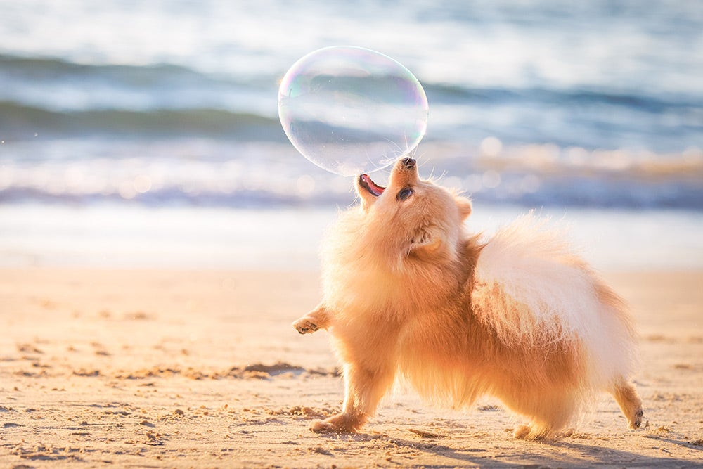 Pomeranian playing with bubble