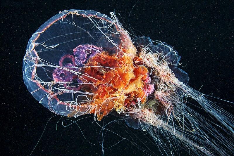 cyanea capillata feeding.jpg