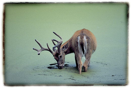 """""""Before-They-re-Gone-A-white-tailed-deer-in-northe"""""""
