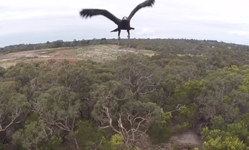 Eagle Takes Down Camera Drone Mid-Flight