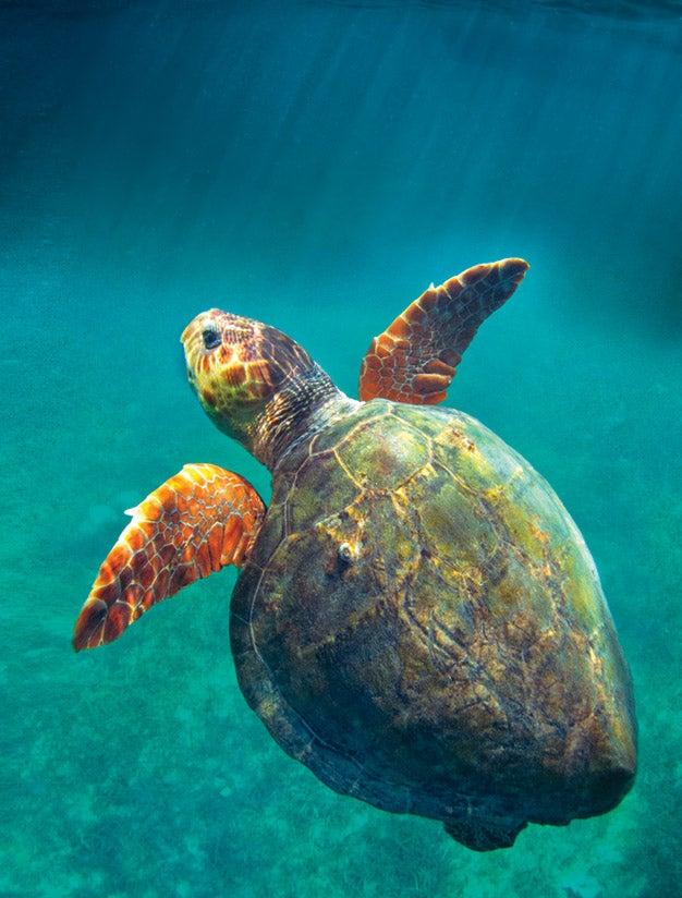 Sea turtle, Caribbean
