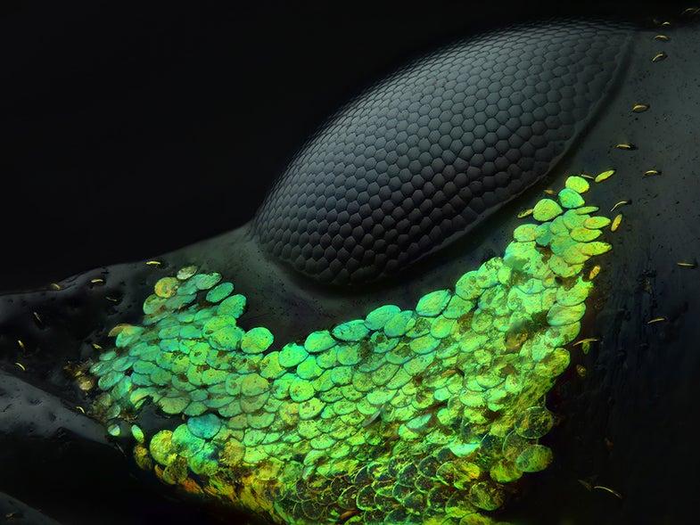 Eye of a Metapocyrtus subquadrulifer beetle