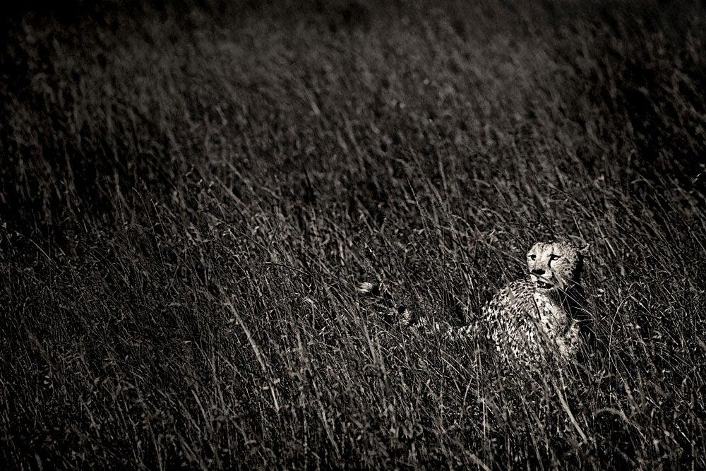 """Cheetah,"