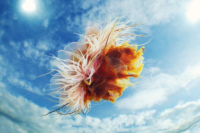 Jellyfish gallery
