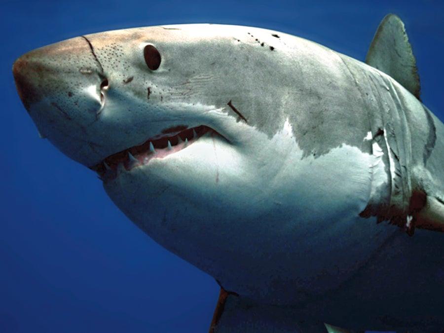 """""""Shark-1"""""""