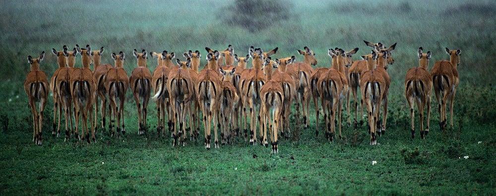 herd in Lake Nakaru Kenya