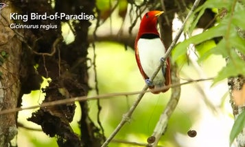 For the First Time, All 39 Species of Birds-of-Paradise Have Been Capture on Film
