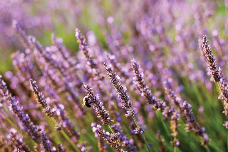 Tilt Shifting Lavender
