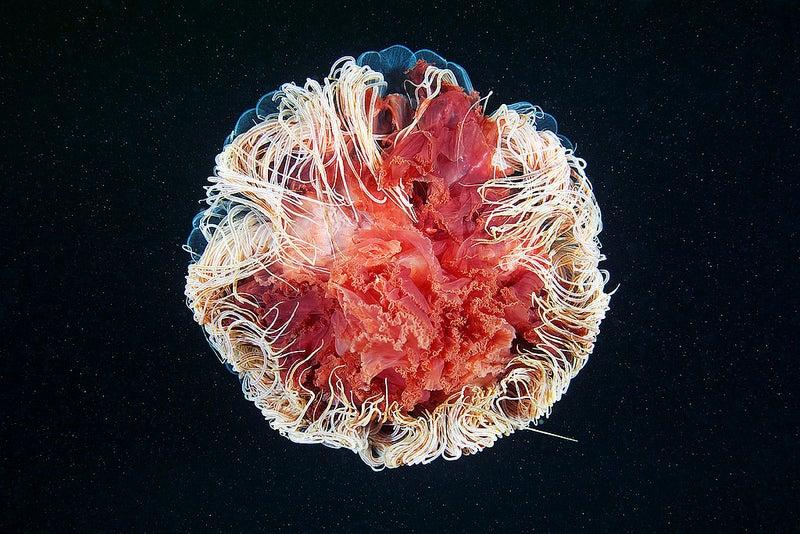 cyanea capillata sphere.jpg