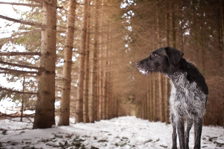 Matea, rescued wirehaired pointer (photographer's dog)