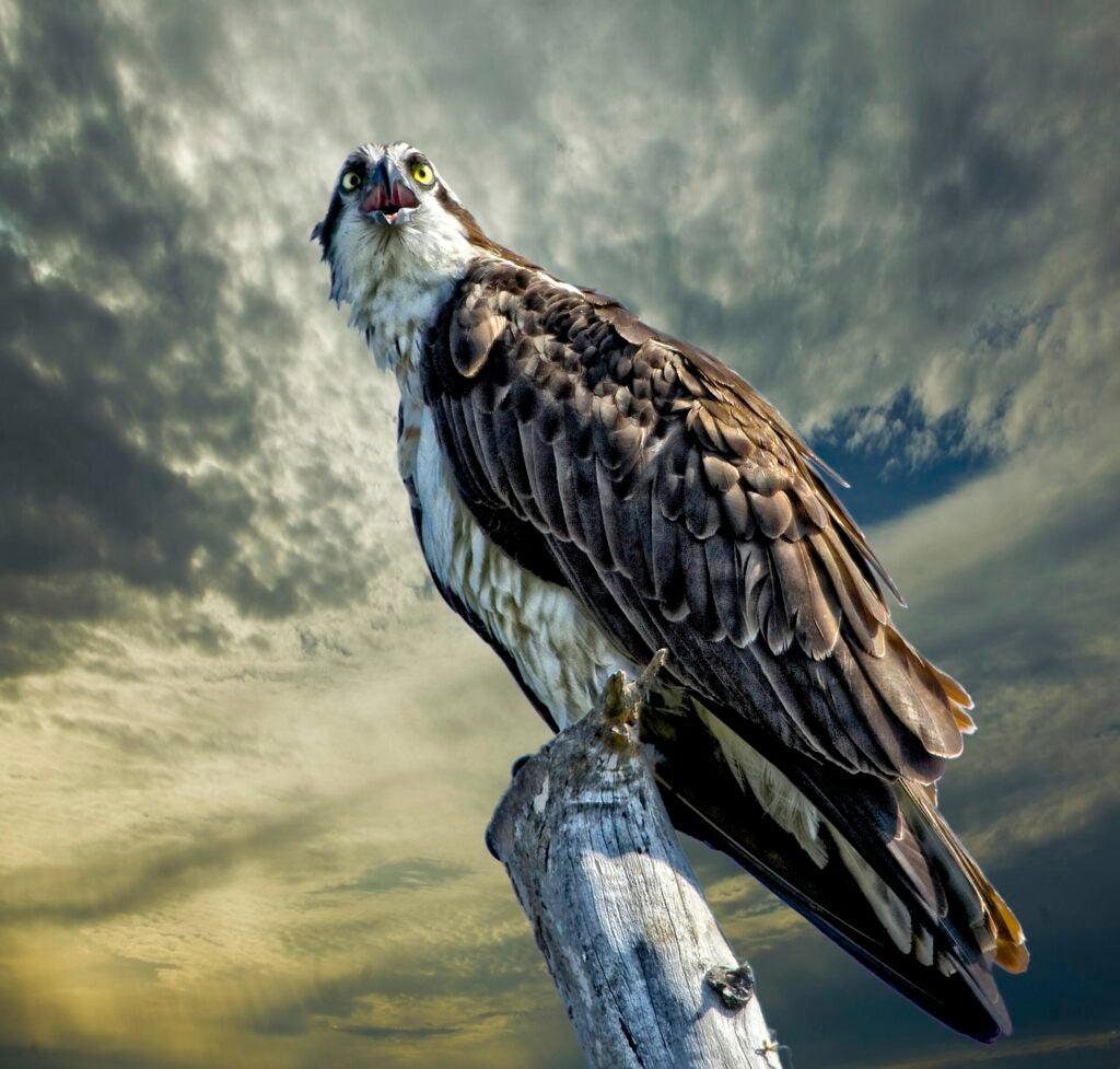 """Osprey"