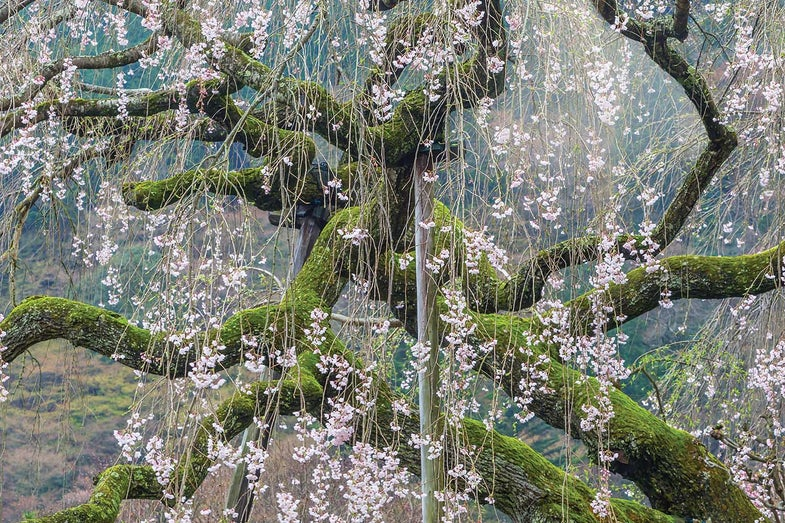 Tips from a Pro: Shooting Cherry Blossoms With Master Nature Photographer Art Wolfe