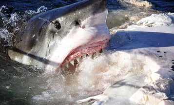 A Boat, a Whale Carcass, and a Camera: Capturing Great White Sharks With Richard Matthews