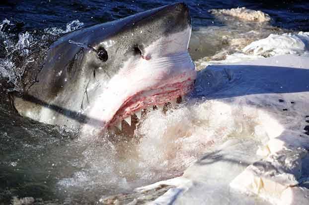 Shark Thumb