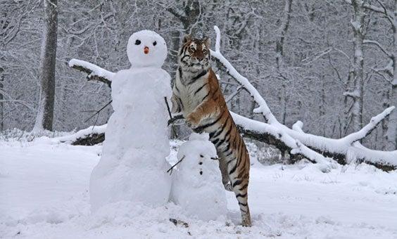 tiger snowman