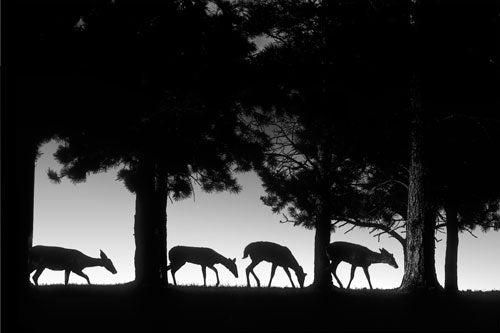 """""""Landscapes-After-Dark-Deer-walking-at-night"""""""