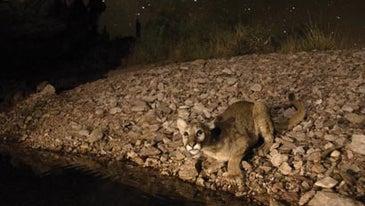 Capturing-the-Big-Cat