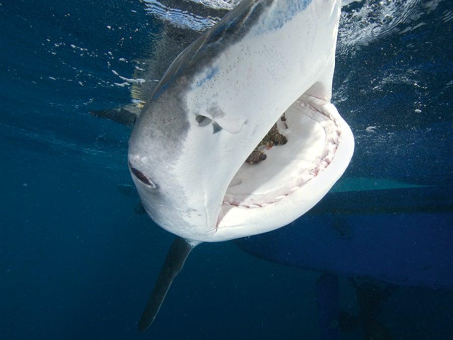 """""""Shark-2"""""""