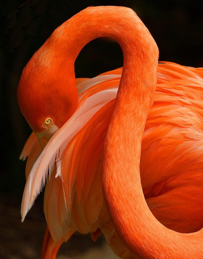 """Flamingo"