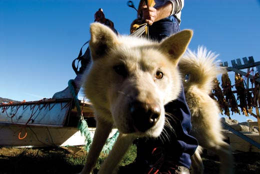 """""""Conquer-the-World-Glamour-hound-This-sled-dog-lo"""""""